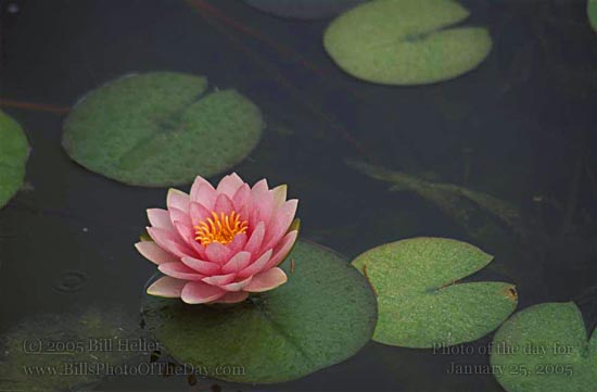 Water Lily in the Santa Barbara Mission Fountain