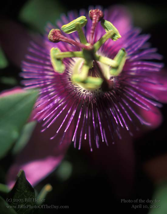 Close up of Passion Flower [<em>Passiflora incarnata</em>] Blossom