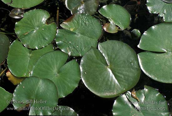 Lily pads in a large fountain pond