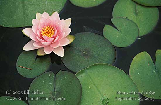 Water lily [<em>Nymphaea odorata</em>] and Lily Pads in a fountain