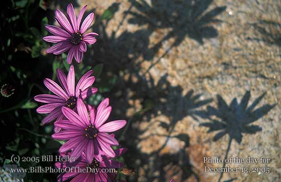 Purple Daisies casting shadows on a rock