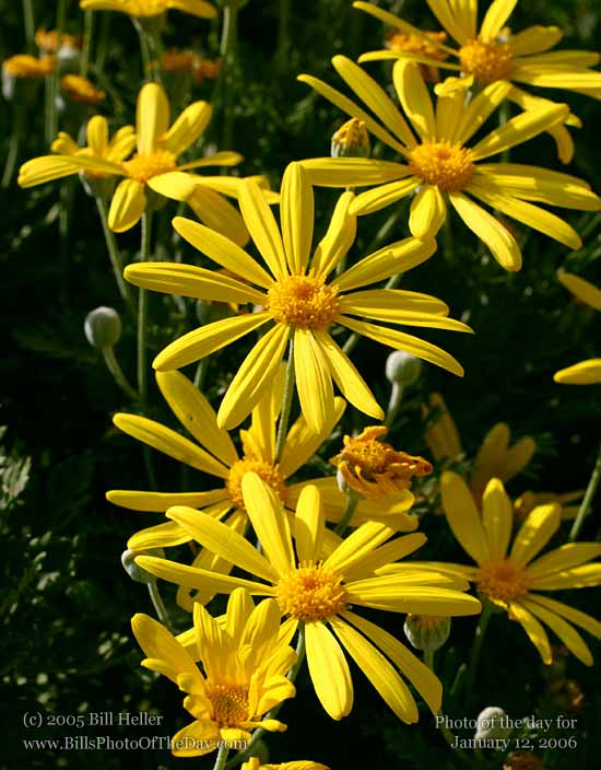 Yellow daisies blooming in the winter
