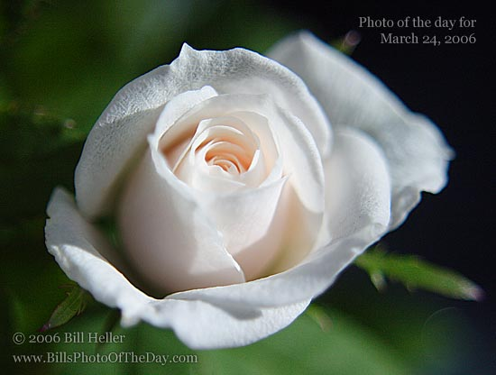 Miniature White Rose