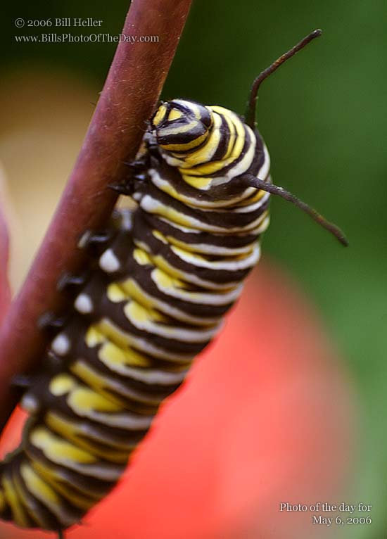 Monarch Butterfly [<em>Danaus plexippus</em>] Larva (Caterpillar)