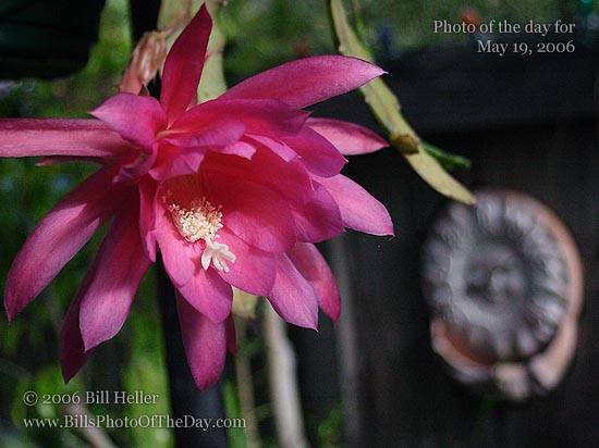 Blooming Epiphyllum, Sun Thermometer & bird feeder in the background