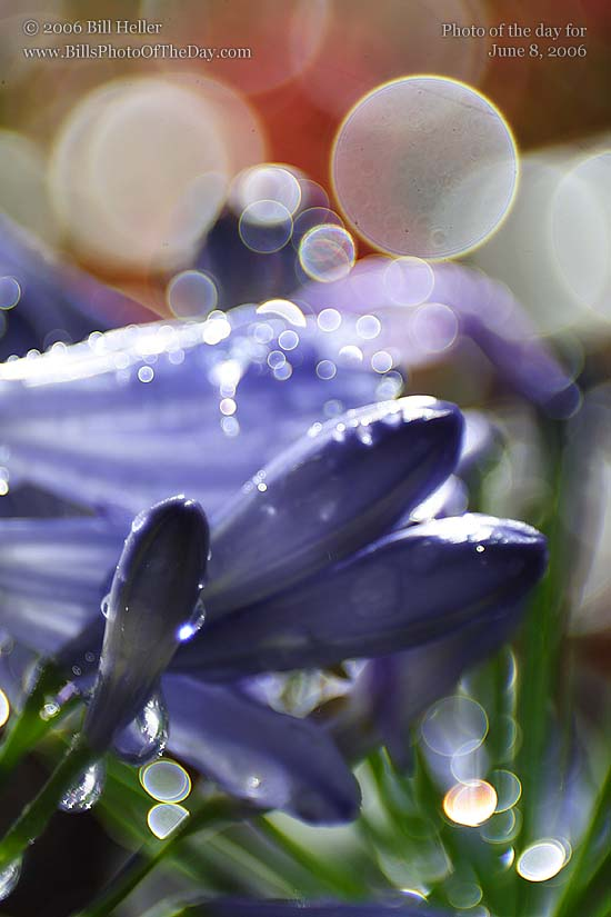 Agapanthus in the Rain