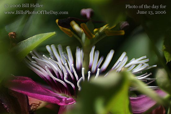 Passion Flower [<em>Passiflora incarnata</em>]