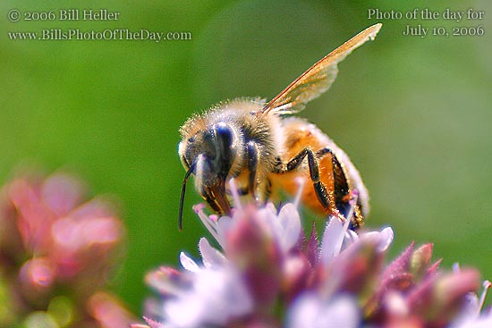Honey Bee Working on a Flower