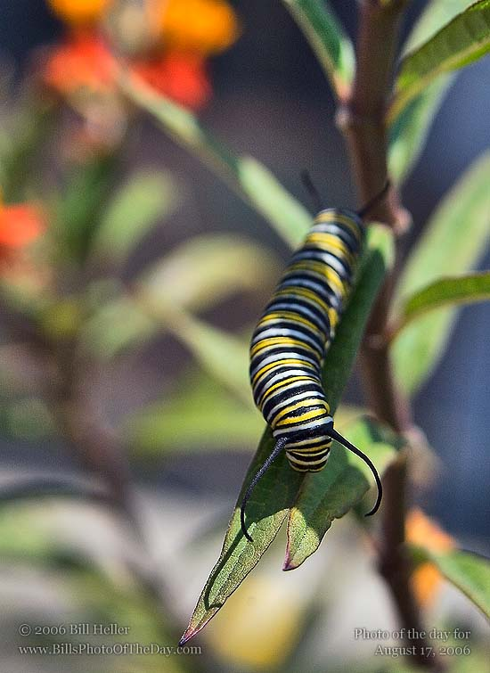 Monarch Caterpillar [<em>Danaus plexippus</em>] dining on Milkweed [<em>Asclepias tuberosa</em>]