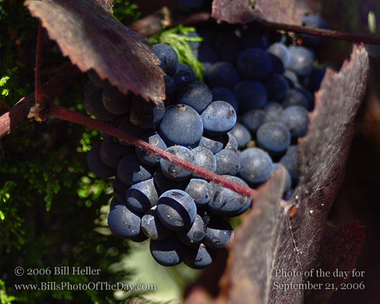 Grapes and Grape Vine