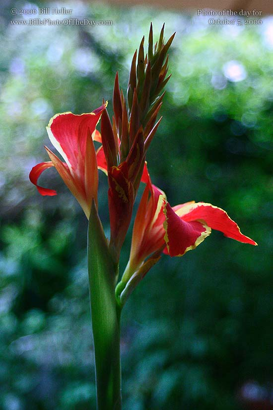 Red and yellow Lucifer Canna Lily [<em>Canna x generalis</em>]