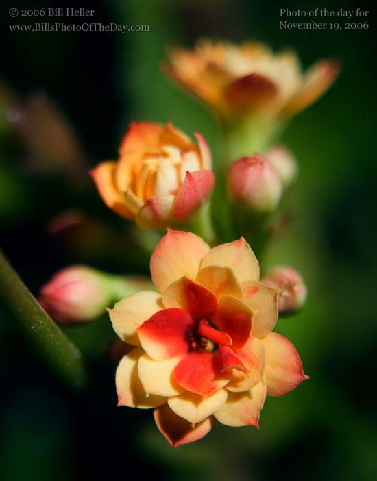 Red and Yellow Double Kalanchoe