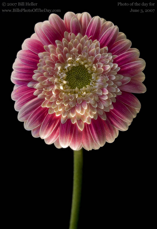 Pink and White Variegated Gerbera Daisy [<em>Gerbera jamesonii</em>]