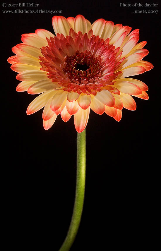 Gerbera Daisy [<em>Gerbera jamesonii</em>] in the studio
