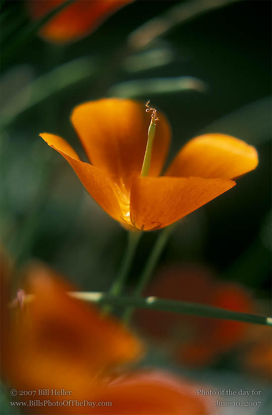 California Poppy [<em>Eschscholtzia californica</em>] field