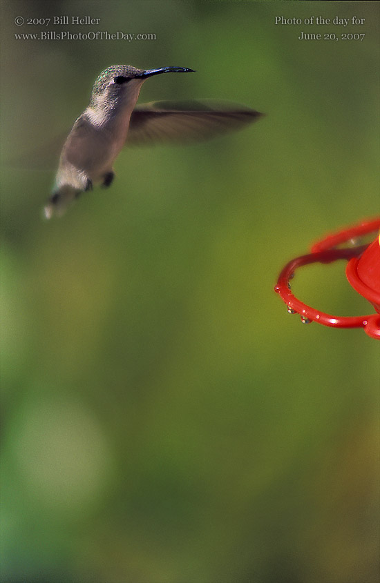 Hummingbird [<em>Calypte anna</em>] hovering near a feeder