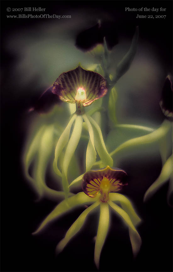 Green and Purple Octopus or Cockleshell Orchids [<em>Encyclia cochleata</em>]
