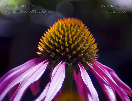 Purple Cone Flower [<em>Echinacea purpurea</em>]