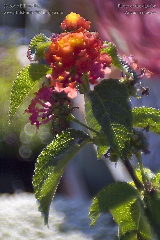 Lantana flower (AKA Spanish Flag)