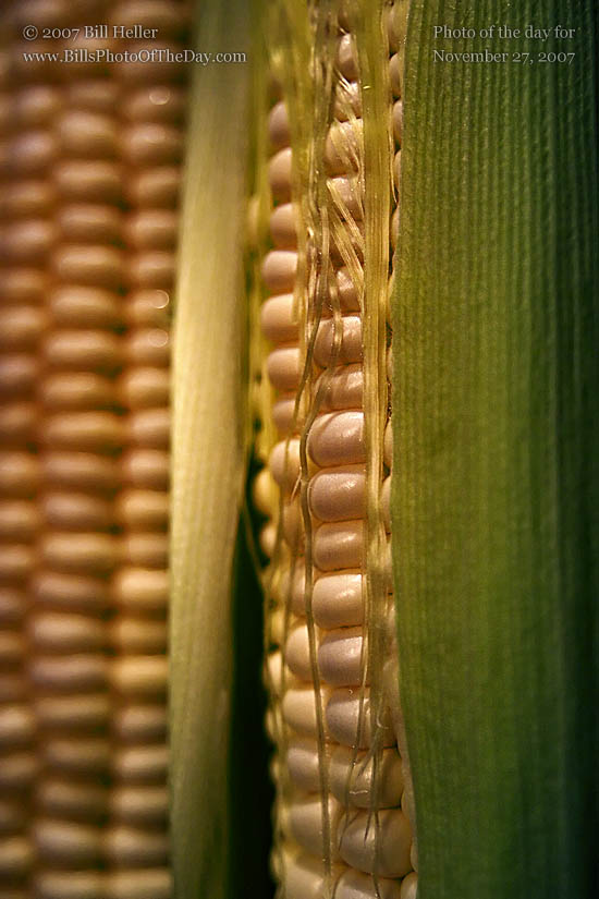 Close up of two ears of corn