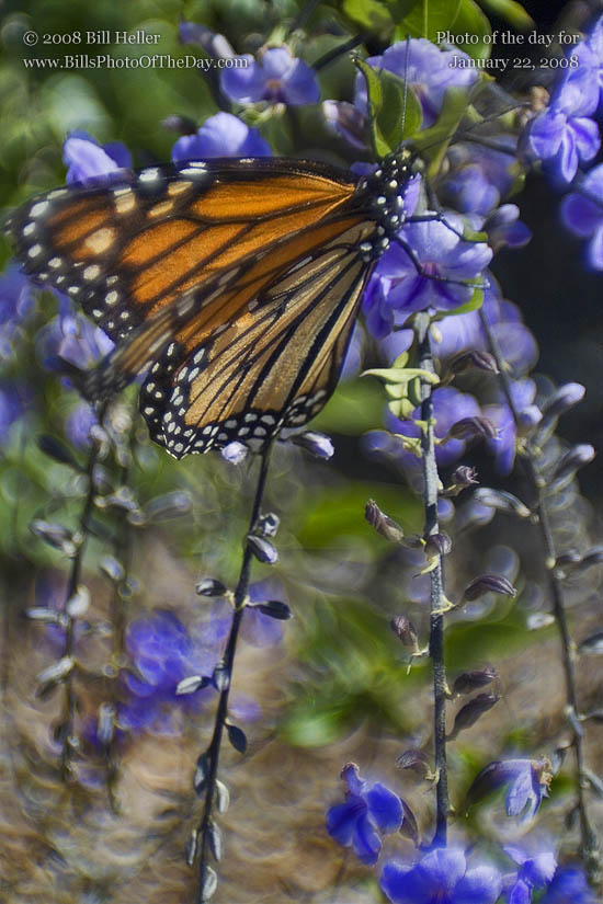 Monarch Butterfly [<em>Danaus plexippus</em>]