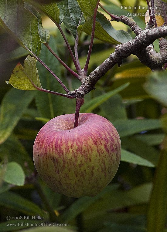 Apple growing in the garden of the Church of the Wayfarer, Carmel, CA