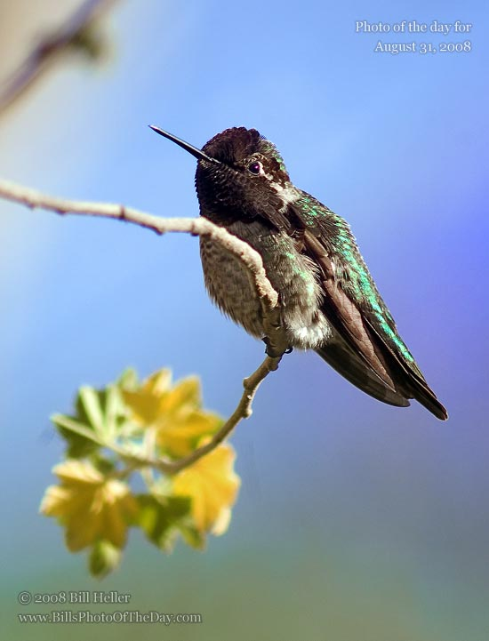 Anna's Hummingbird [<em>Calypte anna</em>] sitting in a Sea Tree Mallow [<em>Lavatera bicolor</em>]
