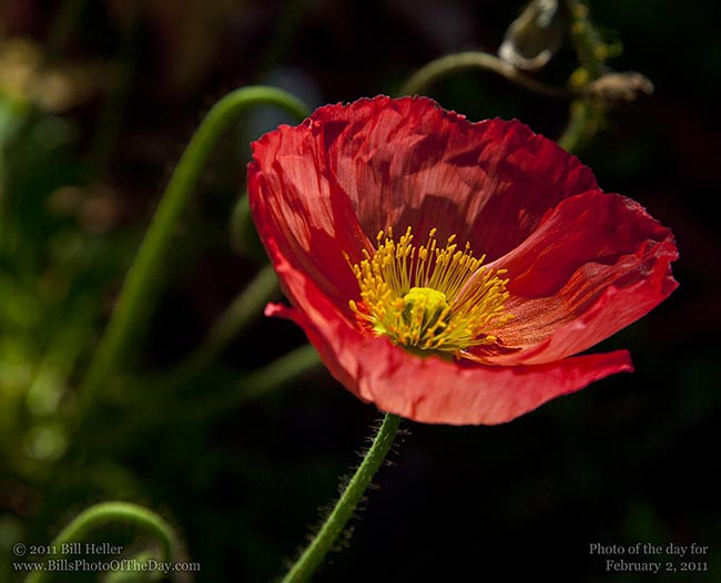 Red Icelandic Poppy [Papaver nudicaule]