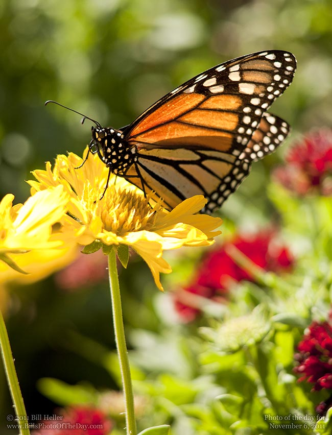 Monarch Butterfly [Danaus plexippus] in Santa Barbara for the winter