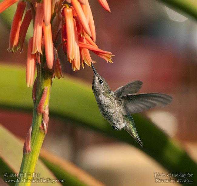 Anna's Hummingbird [<em>Calypte anna</em>] drinking from a South African Lily