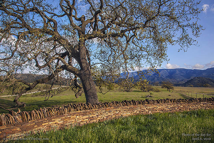 Oak Tree and Beautiful Stone Wall in Santa Ynez Valley