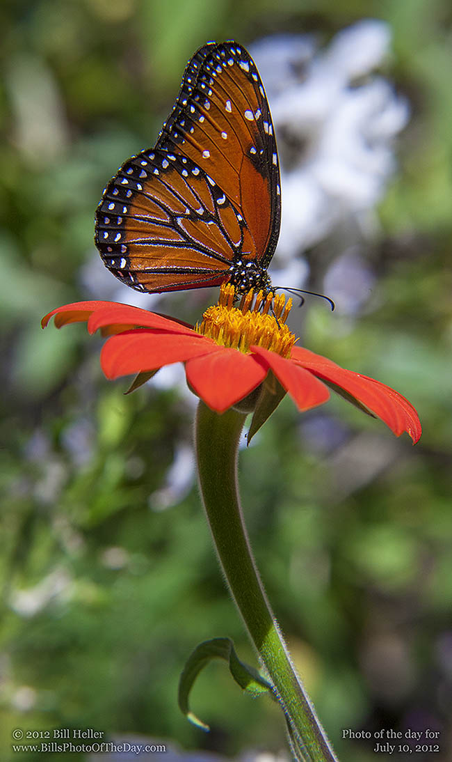 Monarch Butterfly [Danaus plexippus] on Zinnia